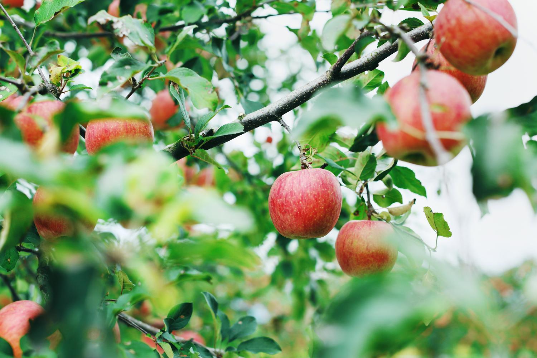 りんご 山形