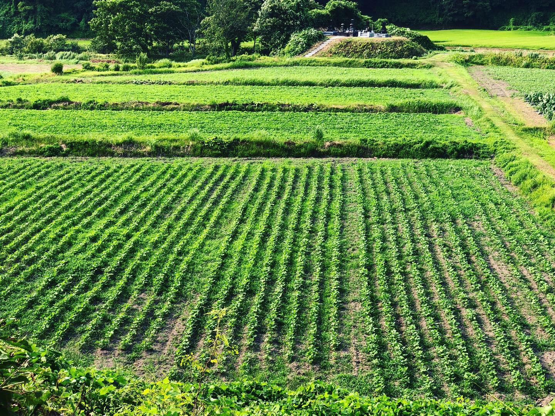 自然栽培 大豆